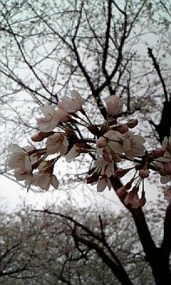 ☆桜2010.4.7☆画像