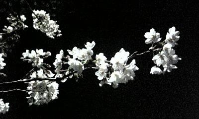 ☆夜桜☆画像