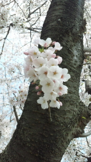 ☆桜2011☆画像