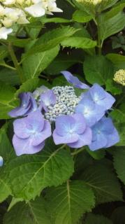 ☆紫陽花☆画像