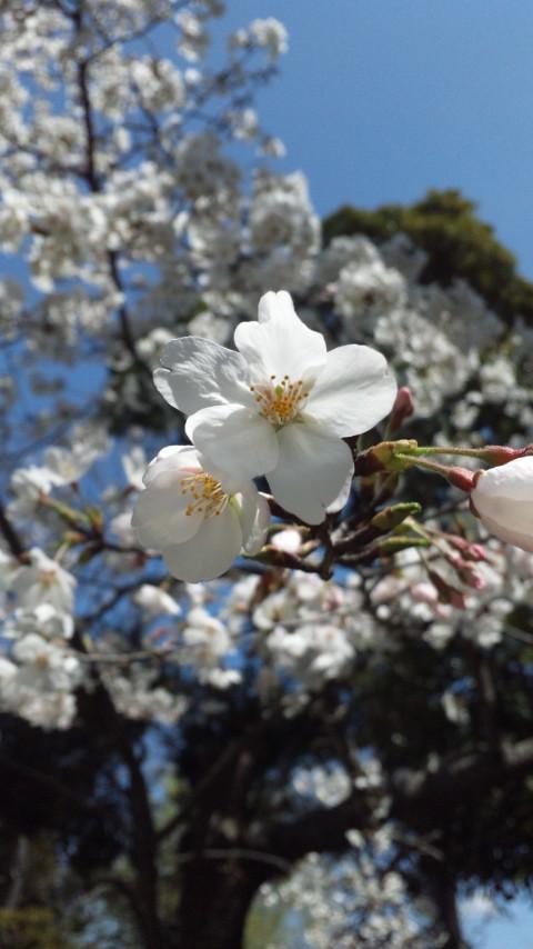 ☆桜満開☆画像