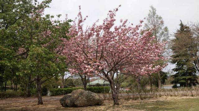 ☆遅咲きの桜☆画像