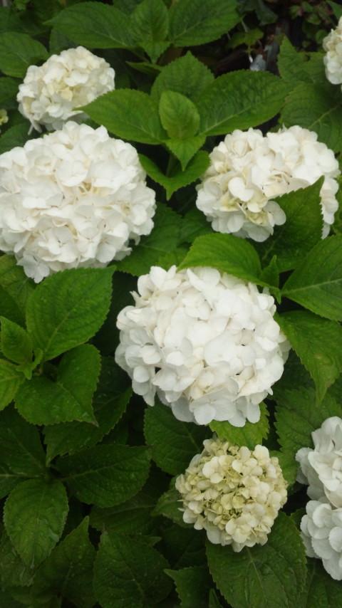 ☆白い紫陽花☆画像