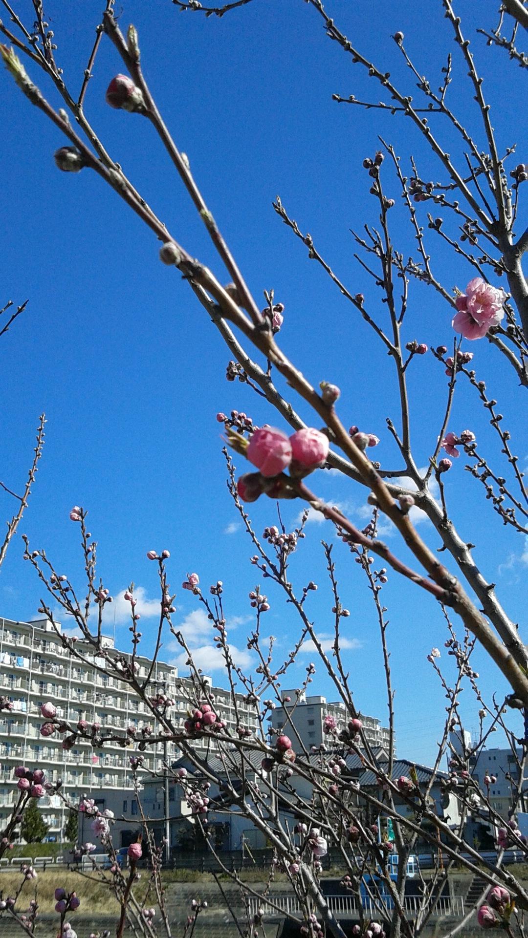 「桜咲け!」画像