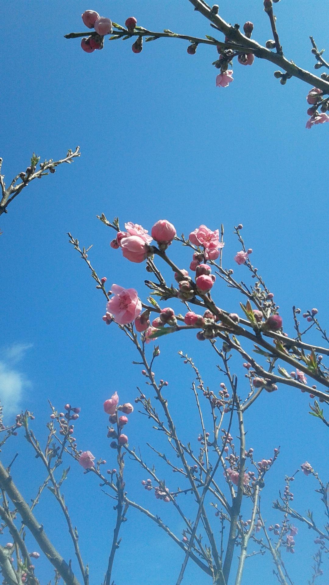「梅はぁ〜、咲いたがぁ〜」