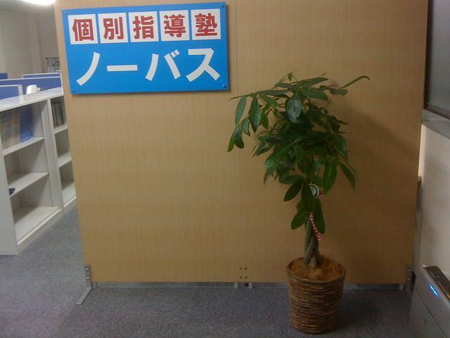 お祝いに記念樹パキラを頂戴しました。画像
